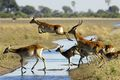 lechwe antelope are often spotted leaping through the watery landscape of the Okavango Delta in Botswana