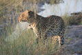 Botswana's cats are often active during the early morning or evening